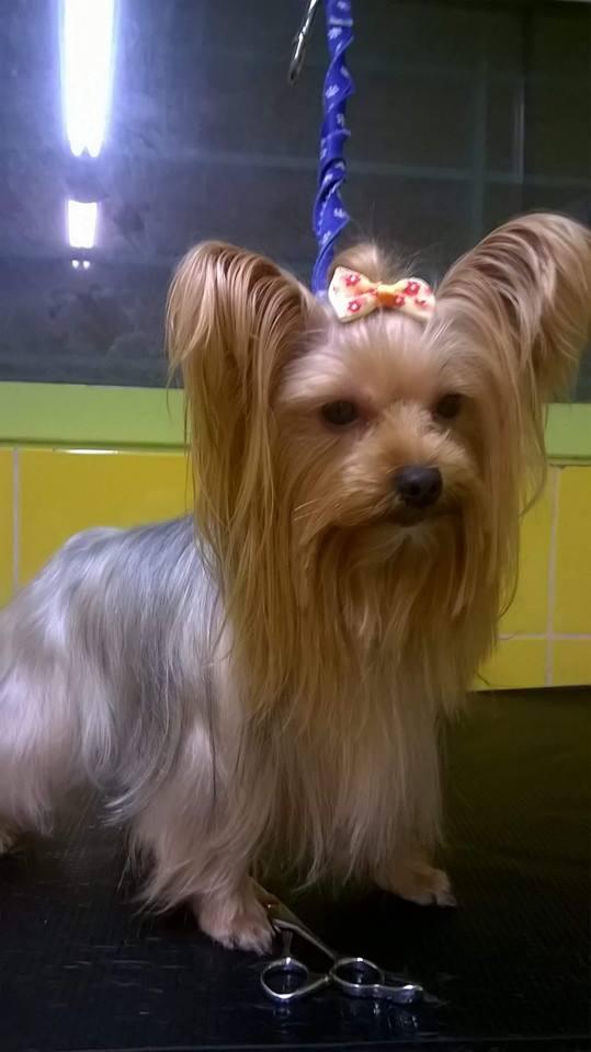 Καλλωπισμός  Γιόρκσάϊρ τεριέ – Dog grooming Yorkshire Terrier
