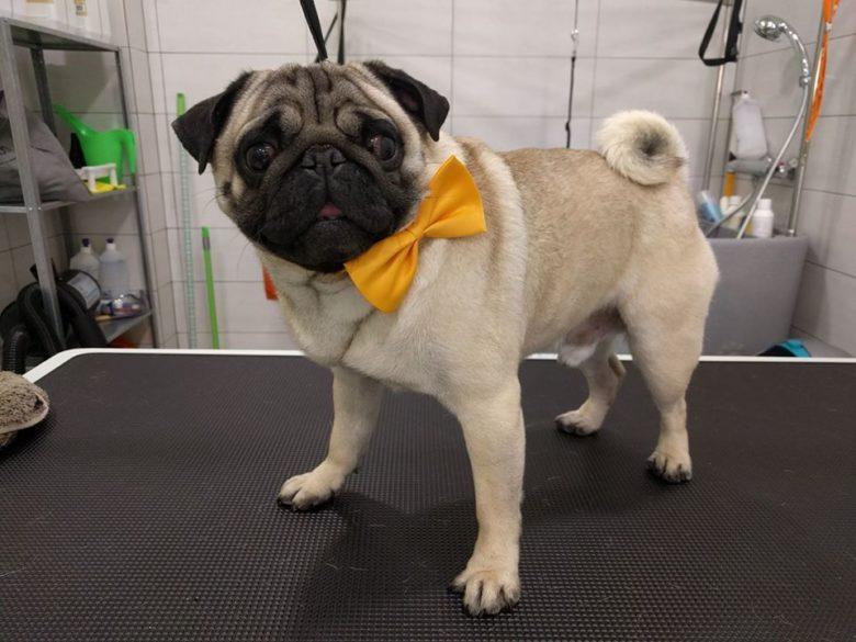 Μπάνιο – Καλλωπισμός Pug / Dog grooming Pug