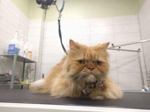 καλλωπισμός γάτας, κούρεμα γάτας