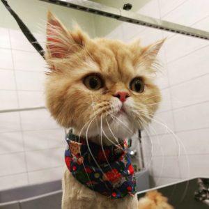 καλλωπισμός γάτας - cat grooming