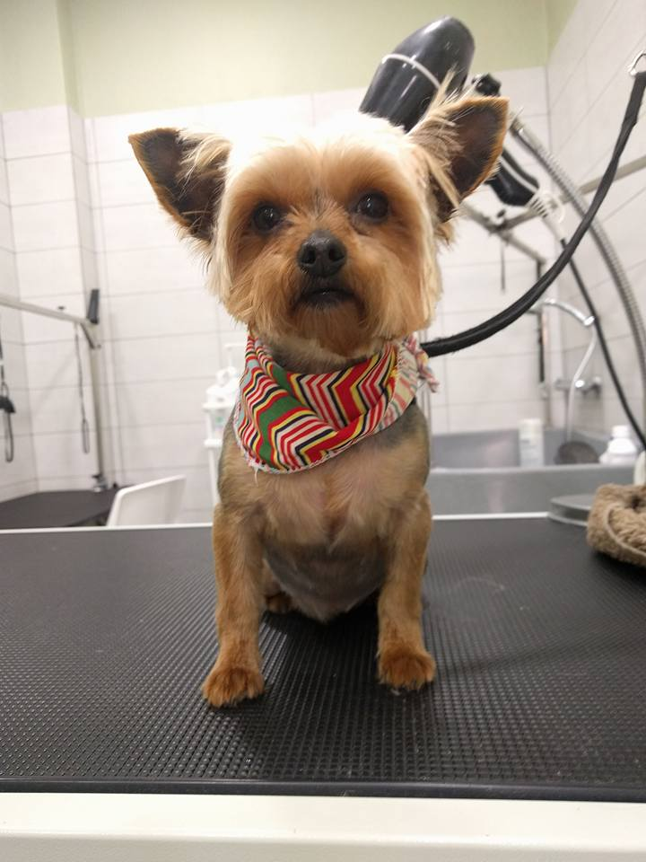 dog-grooming-yiorkie.jpg