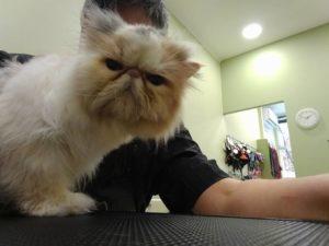 gatoskilokomosis κούρεμα γάτας - μπάνιο γάτας