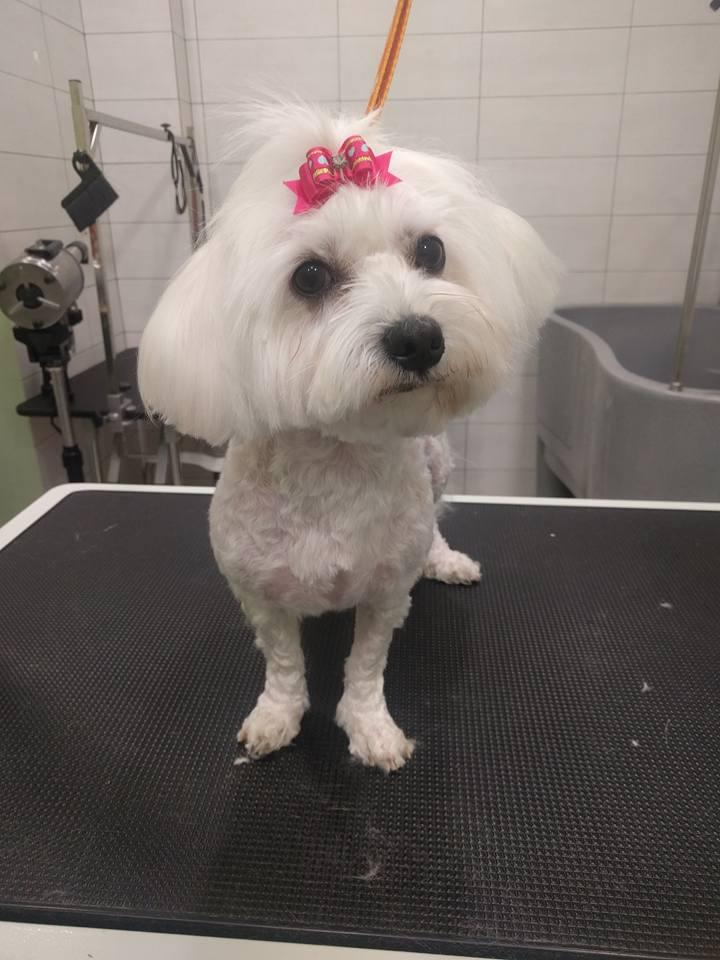 gatoskilokomosis-dog-grooming-maltese.jpg